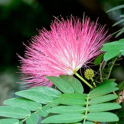 mimosa tree planting instructions