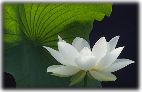 Lotus plants wild things grow click on this image to purchase or view sapheda photo gallery mightylinksfo