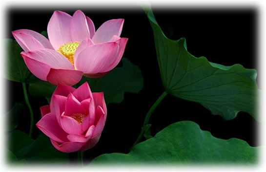 Sacred Lotus Indian Pink