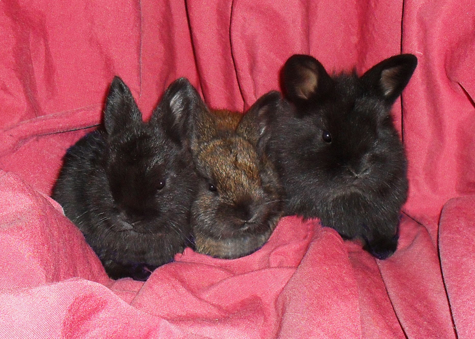 Our first litter of Lionhead Kits!