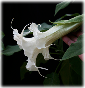 Brugmansia Summer Kisses