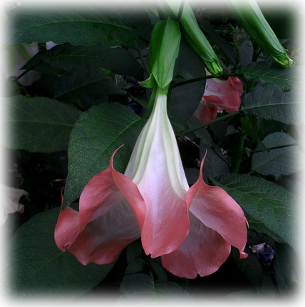Brugmansia Coral Frost