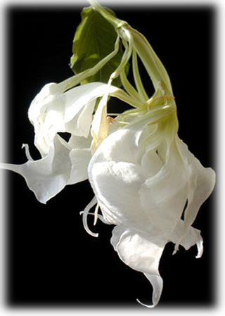 Brugmansia Shredded White